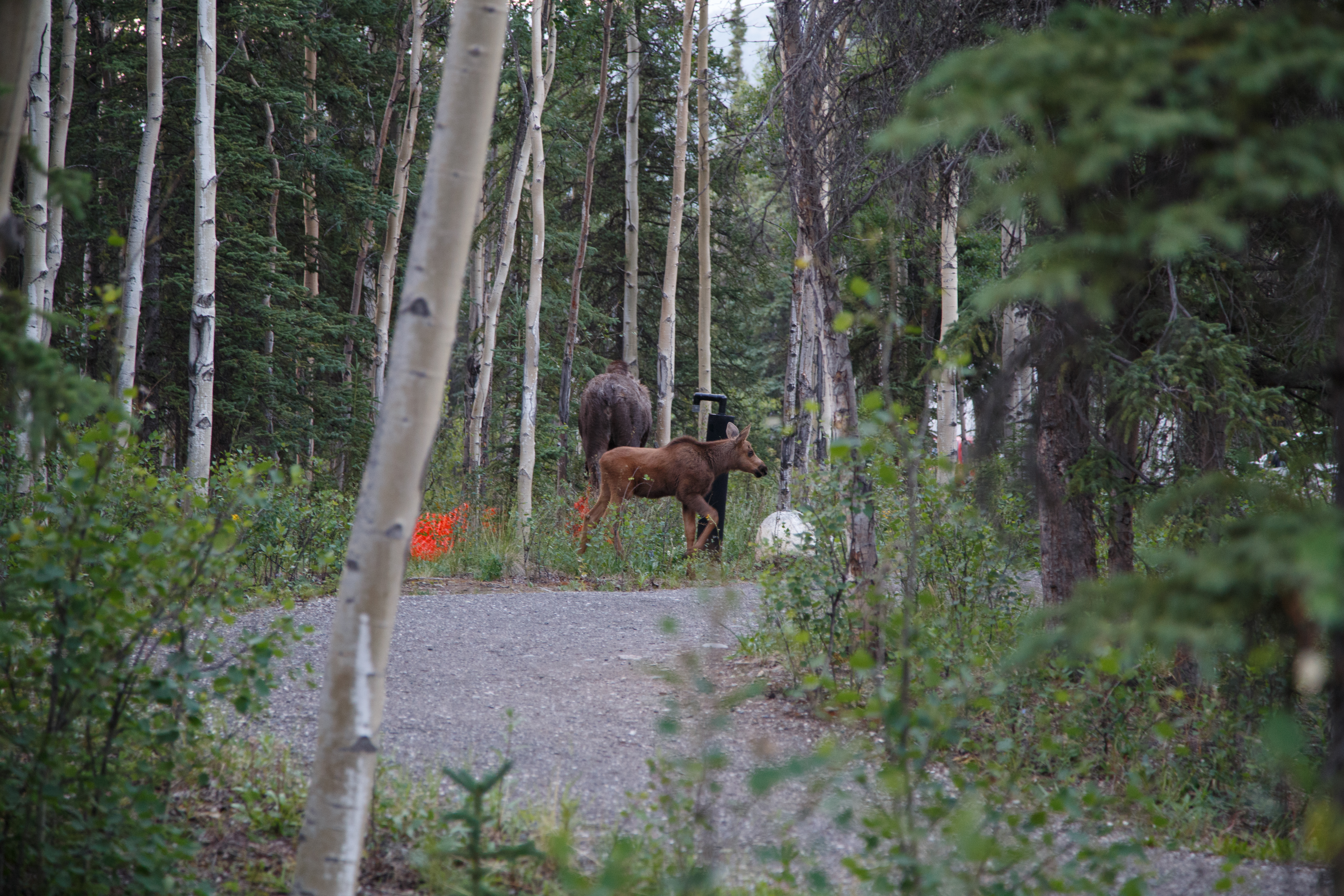 Day 4 - Moose in Campground, Savage River 2 - IMG_2968.jpg